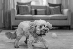 Cockapoo trying to catch a ball Stock Image