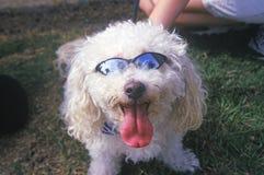 Cockapoo wearing sunglasses at the Doo Dah Parade, Pasadena, California Stock Photos