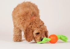 Cockapoo-Welpe mit Hundespielzeug Stockfotos