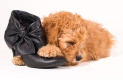 Cockapoo-Welpe mit schwarzem Schuh Lizenzfreie Stockbilder