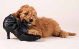 Cockapoo-Welpe mit schwarzem Schuh Lizenzfreie Stockfotos