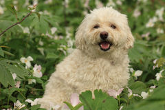 Cockapoo and white trilliums Royalty Free Stock Images