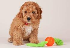 Cockapoopuppy met hondstuk speelgoed Stock Fotografie