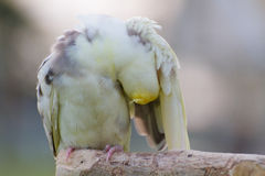 The cockatie bird cleaning body. The cockatiel or Nymphicus hollandicus Stock Photography