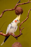 cockatiel παπαγάλος Στοκ Εικόνα