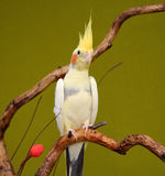 cockatiel ветви стоковое изображение
