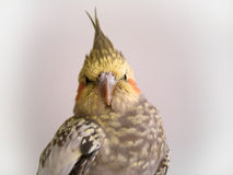 Cockatiel Royalty Free Stock Photos