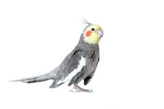 Cockatiel. Old cockatiel on a white background royalty free stock image