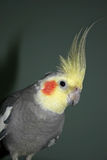 Cockatiel. (Nymphicus hollandicus), parrot, bird, one royalty free stock images