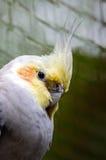 Cockatiel Imagen de archivo
