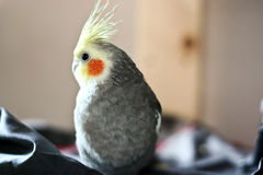 Cockatiel Image stock
