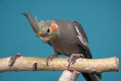Cockatiel. Blue background, birch tree royalty free stock image