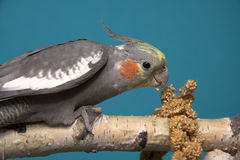 Cockatiel. Blue background, birch tree stock photography