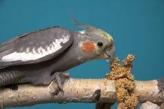 Cockatiel Fotografía de archivo