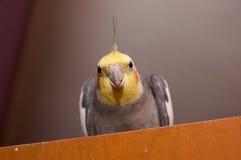 Cockatiel Royaltyfri Fotografi