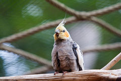 Cockatiel Photos stock