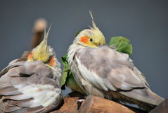 cockatiel Royalty-vrije Stock Fotografie