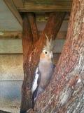 Cockatiel adulto Foto de archivo libre de regalías