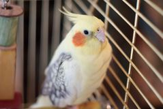 Cockatiel bird in a cage Stock Photography