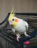 Cockatiel bird on a cage Stock Images