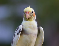 Cockatiel bird. On close up action Stock Photos