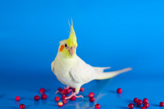 Cockatiel bird colourful berries background. Yellow cockatiel portret in blue background and the barries around stock images