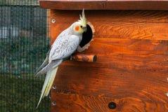 Cockatiel bird and nest box Royalty Free Stock Photo
