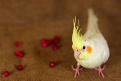 Cockatiel bird parrot and berries. Yellow cockatiel portret in brown background and the barries around Royalty Free Stock Photos