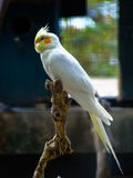 Cockatiel bird sitting on a tree branch. Alone Stock Photography