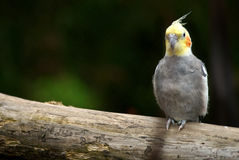 Cockatiel bird on a tree branch. Has interested look; short DOF; good focus, clarity Royalty Free Stock Image