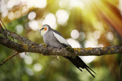 Cockatiel bird on a tree branch. Stock Photography