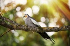 Cockatiel bird on a tree branch. Grey Cockatiel parrot - Nymphicus hollandicus Stock Photography