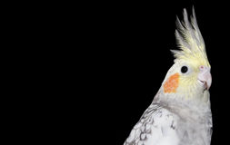 Cockatiel in black background Stock Photo