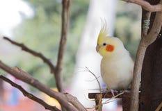 Cockatiel blanco lindo Foto de archivo