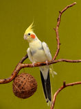 Cockatiel on a branch. Portrait of cockatiel on a branch royalty free stock images