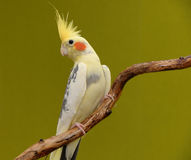 Cockatiel on a branch. Cockatiel parrot resting on a branch royalty free stock image