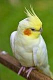 Cockatiel branco Imagem de Stock
