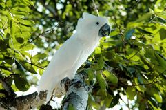Cockatiel branco empoleirado nas folhas verdes Imagens de Stock Royalty Free
