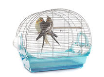 Cockatiel in cage. Young Cockatiel in cage in front of white background royalty free stock photography