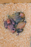 Cockatiel chicks Stock Photo