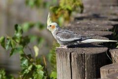 Free Cockatiel, Cockatoo Parrot, Quarrion, Weero Stock Images - 13730764