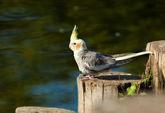 Free Cockatiel, Cockatoo Parrot, Quarrion, Weero Royalty Free Stock Photography - 13730767