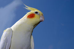Cockatiel de Lutino Fotos de archivo libres de regalías