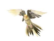 Cockatiel del vuelo en estudio Foto de archivo