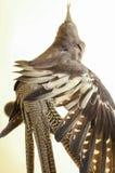 Cockatiel, der seine Flügel ausdehnt stockfoto