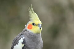 Cockatiel Stock Images