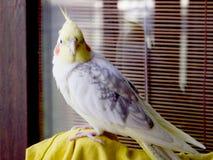 Cockatiel do papagaio Fotografia de Stock