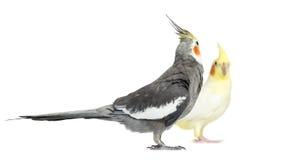Cockatiel due, isolato Fotografie Stock Libere da Diritti