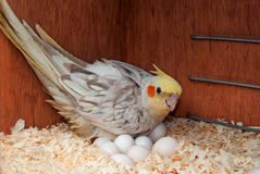 Cockatiel with eggs Royalty Free Stock Photography
