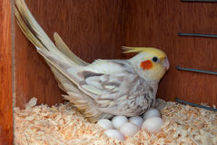 Cockatiel on eggs at nestbox Stock Photography